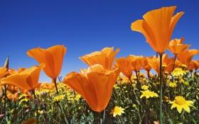 Обои поле, лето, небо, цветы, синева, яркие, маки