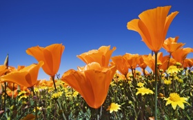 Картинка лето, маки, поле, синева, яркие, оранжевые, небо