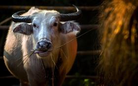 Картинка фон, корова, сено