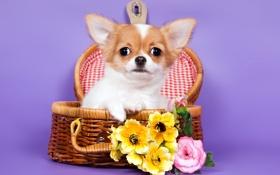 Картинка корзина, чихуахуа, цветы