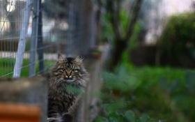 Картинка кот, серый, забор, размытость