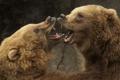 Картинка медведи, пасть, спарринг
