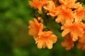 Картинка листья, цветы, оранжевый, ветка, лепестки, зелёный