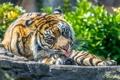 Картинка язык, морда, тигр, хищник, лапы, мощь, грация