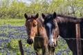 Картинка кони, забор, цветы