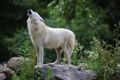 Картинка хищник, мех, вой, белый волк