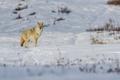 Картинка зима, снег, койот