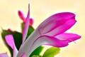 Картинка цветок, природа, растение, лепестки, кактус, экзотика