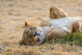Картинка животные, relax, львица