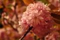 Картинка макро, цветы, природа, дерево, ветка, лепестки, сакура