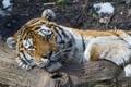 Картинка кошка, взгляд, тигр, отдых, бревно, амурский тигр, ©Tambako The Jaguar