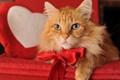 Картинка кот, взгляд, Valentine boy