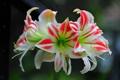 Картинка бело розовая, Амариллиса, цветок