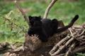 Картинка хищник, пантера, когти, дикая кошка, чёрный леопард