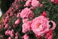 Картинка розы, розовые, кусты