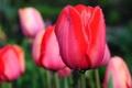Картинка цветок, макро, цветы, тюльпан, весна, бутон, тюльпаны