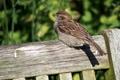Картинка птица, воробей, лето
