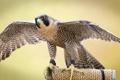 Картинка птица, крылья, хищник, сокол