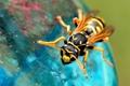 Картинка природа, оса, крылья, лапки, насекомое