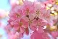 Картинка цветы, вишня, веточка