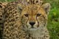 Картинка дикая кошка, гепард, морда