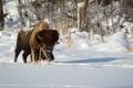 Картинка зима, природа, Plains Bison