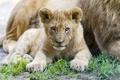 Картинка трава, взгляд, детёныш, котёнок, львёнок, ©Tambako The Jaguar