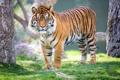 Картинка взгляд, тигр, хищник, суматранский