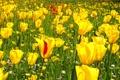 Картинка тюльпаны, трава, фото, сад, поле, жёлтый, цветы