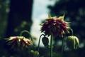 Картинка бутоны, размытость, макро, цветы