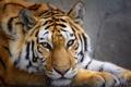 Картинка кошка, тигр, зверь