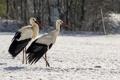 Картинка зима, аисты, птицы