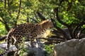 Картинка поза, хищник, пятна, профиль, мех, дикая кошка, амурский леопард