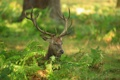 Картинка лес, трава, олень, рога, маскировка