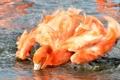 Картинка брызги, розовый, птица, крылья, купание, фламинго