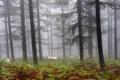 Картинка лес, природа, туман, овцы