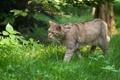 Картинка кошка, трава, лесной кот, дикий кот