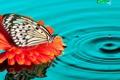 Картинка вода, капли, бабочка, гербера