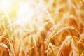 Картинка пшеница, рожь, колосья