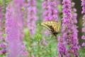 Картинка макро, цветы, бабочка, Махаон