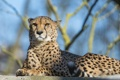 Картинка кошка, отдых, гепард, ©Tambako The Jaguar