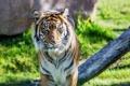 Картинка тигр, хищник, суматранский