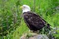 Картинка птица, Белоголовый орлан, Bald Eagle