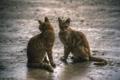 Картинка кошки, две, серые, симметрия
