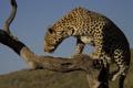 Картинка небо, дерево, леопард, профиль, дикая кошка