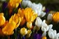 Картинка Цветы, крокусы, капли воды