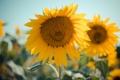 Картинка подсолнухи, цветы, желтые, лепестки