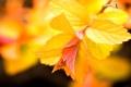 Картинка листья, ветвь, ярко-жёлтые, фон, макро