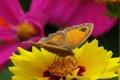Картинка цветок, цветы, желтый, бабочка, космея