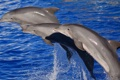 Картинка море, вода, дельфины, млекопитающее